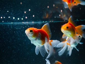 Best Goldfish Food for Color and Growth