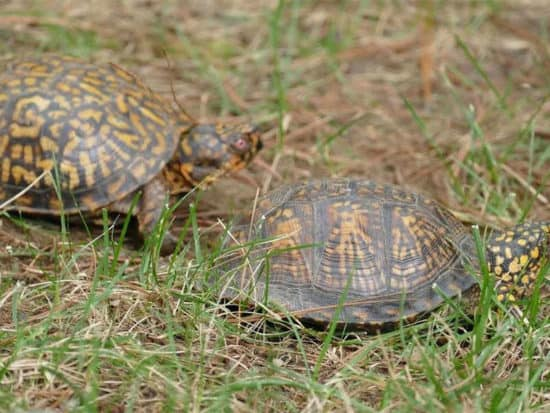 Male box turtles are a tad smaller compared to their female counterparts