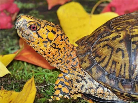 The largest size of box turtle ever recorded is just 7 inches