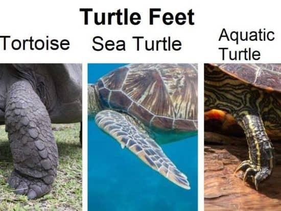 Types of Turtle Feet