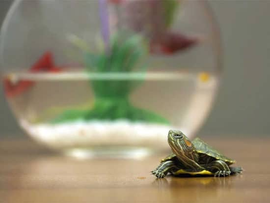 Water is highly essential to the overall health of your turtles