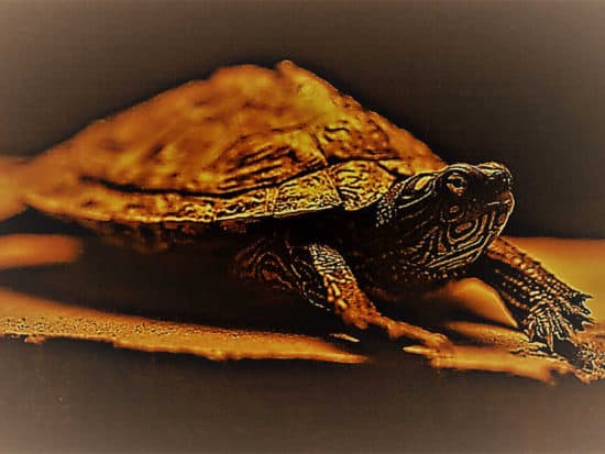 Way the eyes of a turtle work in the dark